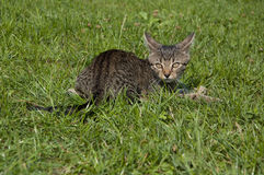 Tabby kitten. Lying on the lawn royalty free stock photos