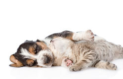 Tabby kitten lying with sleeping basset hound puppy. on. White background royalty free stock image