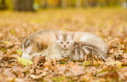 Tabby kitten lying with sleeping puppy in autumn park Royalty Free Stock Photos