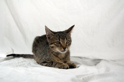 Tabby kitten. Lying on white fabric royalty free stock images