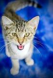 Tabby Kitten Meow Image libre de droits