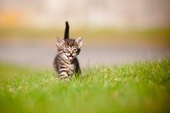 Tabby kitten meowing Stock Photos