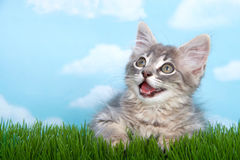 Tabby kitten mouth open on green grass. Gray long haired tabby kitten mouth open as if talking on long green grass with blue background white clouds Stock Photography