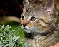 Tabby kitten Royalty Free Stock Photos