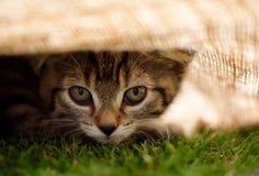 Tabby Kitten Peaking Out da sotto il panno fotografie stock libere da diritti