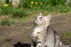 Tabby Kitten Play Outside Fotografie Stock