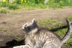 Tabby Kitten Play Outside Immagini Stock