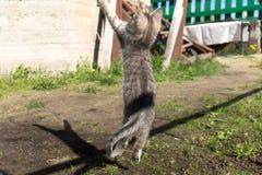 Tabby Kitten Play Outside Immagini Stock Libere da Diritti