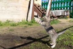 Tabby Kitten Play Outside Immagine Stock Libera da Diritti