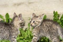 Tabby Kitten Play Outside Arkivbilder