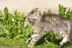 Tabby Kitten Play Outside Royaltyfri Foto
