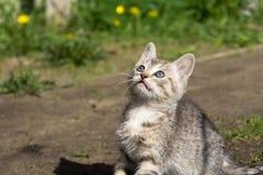 Tabby Kitten Play Outside Arkivfoton