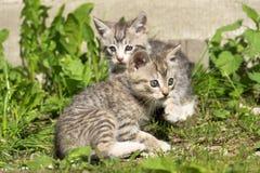 Tabby Kitten Play Outside Fotografering för Bildbyråer