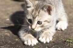 Tabby Kitten Play Outside Royaltyfria Bilder
