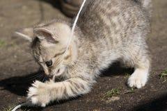 Tabby Kitten Play Outside Royaltyfri Bild
