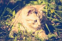 Tabby Kitten Play Outside Retro Immagine Stock