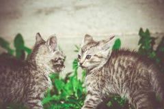 Tabby Kitten Play Outside Retro Fotografia Stock
