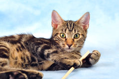 Tabby kitten playing Royalty Free Stock Photos