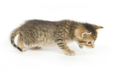 Tabby kitten playing Stock Photos