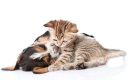 Tabby kitten playing  with basset hound puppy.  on white Royalty Free Stock Photo