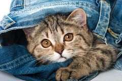 Tabby kitten with a jeans. Tabby kitten playing with a blue jeans and looking out royalty free stock image