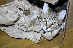 Tabby Kitten Playing in Cardboard Box Royalty Free Stock Images