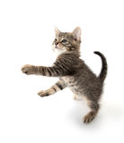 Tabby kitten playing Royalty Free Stock Image