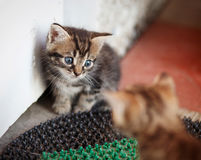 Tabby kitten playing Stock Images