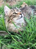 Tabby kitten playing in the grass. Beautiful long haired tabby barn kitty playing in the grass and looking up towards the sky royalty free stock images