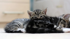 A tabby kitten playing peekaboo with the camera behind her brother Stock Images