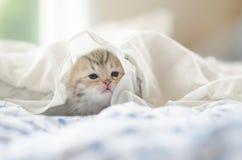 Tabby kitten playing under white blanket Stock Photo