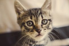 Tabby kitten Royalty Free Stock Photography