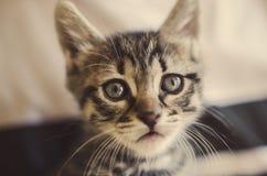 Tabby kitten Royalty Free Stock Photography