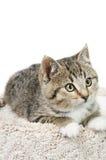 Tabby Kitten Portrait Fotografia Stock Libera da Diritti