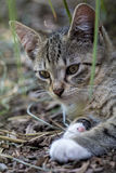 Tabby Kitten Portrait Photos stock
