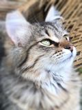 Tabby kitten poses for portrait. Adorable long haired tabby kitten poses perfectly for portrait looking very regal royalty free stock photo