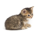 Tabby kitten resting on white background Stock Photo