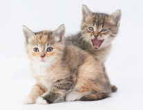 Tabby kitten scares tricolor kitten Royalty Free Stock Photos