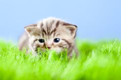Tabby kitten Scottish lying on green grass Stock Photography