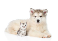 Tabby kitten sitting with Alaskan malamute puppy. isolated on white. Background Royalty Free Stock Images