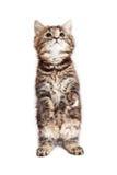 Tabby Kitten Sitting Up Begging royalty-vrije stock foto