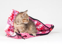 Tabby kitten in sleeping bag Royalty Free Stock Image