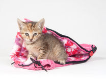Tabby kitten in sleeping bag Stock Photography