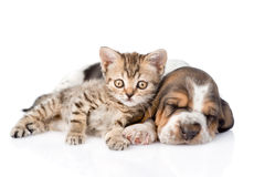 Tabby kitten and sleeping basset hound puppy lying together. isolated. On white royalty free stock photo