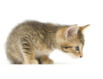 Tabby kitten sniffing Stock Photo