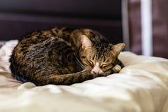 Tabby Kitten soñolienta en un consolador grueso fotos de archivo libres de regalías