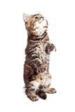 Tabby Kitten Staing Up Begging op Wit royalty-vrije stock foto