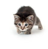 Tabby kitten stalking Royalty Free Stock Photography