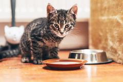 Tabby Kitten Standing Beside Plate mit Milch Stockbild