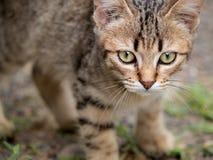 Tabby Kitten Staring imagen de archivo libre de regalías